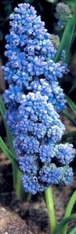 Hyacinthus /crocus/ muscari p7