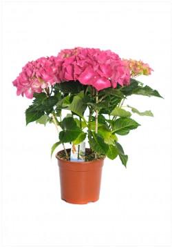 Hydrangea p14 h40 hortensie